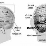front-and-back-of-brain